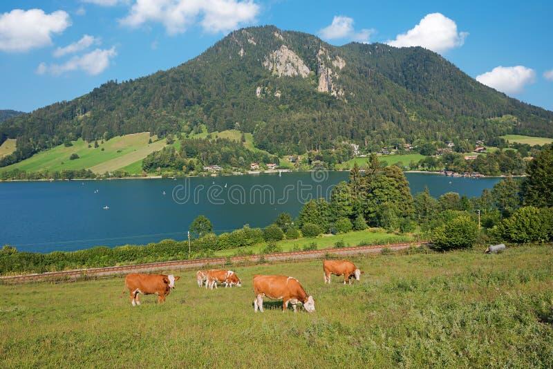 Schliersee do lago com montanhas e vacas da pastagem fotografia de stock royalty free