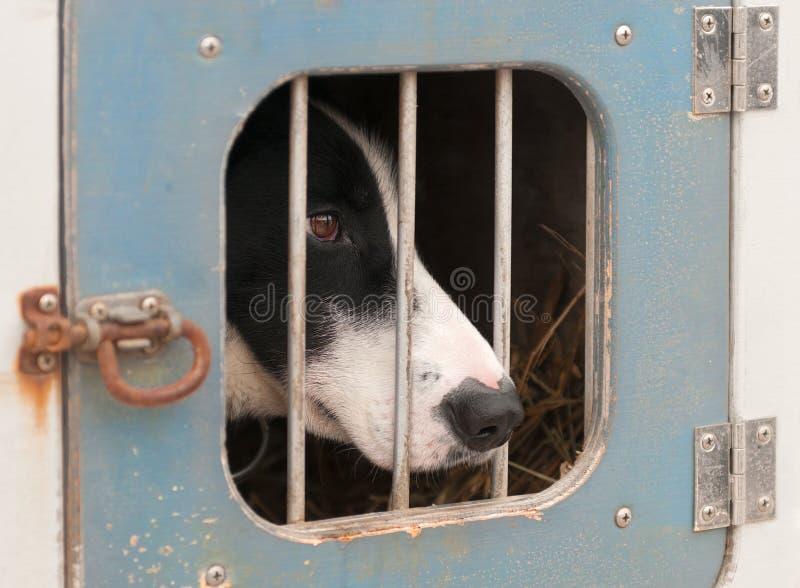 Schlitten-Hund sitzt innerhalb des Hunde-LKWs lizenzfreies stockbild