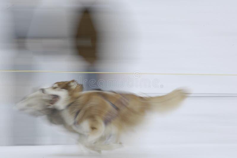 Schlitten-Hunde 02 Lizenzfreie Stockbilder