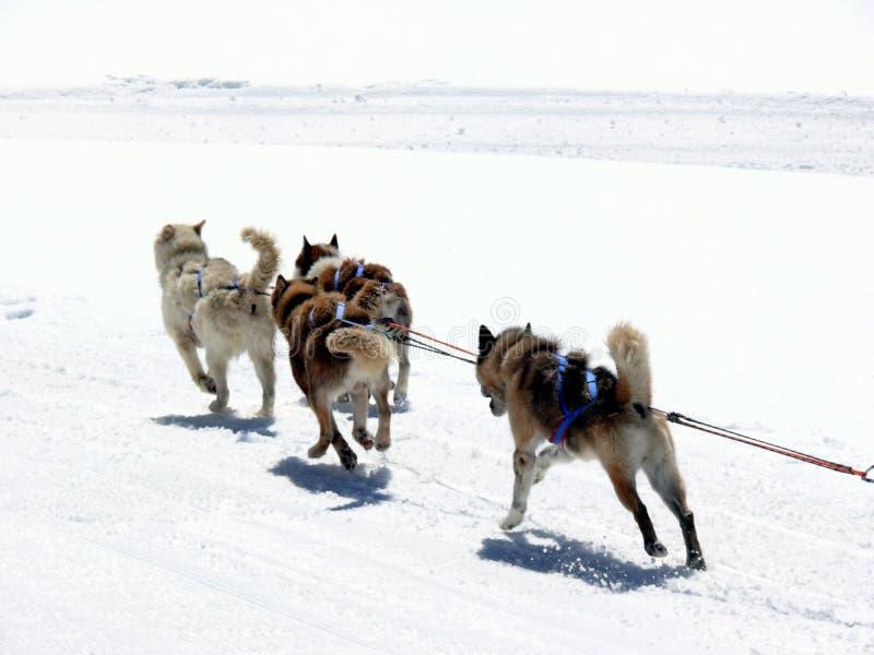 Schlitten-Hunde im Schnee stockfotografie