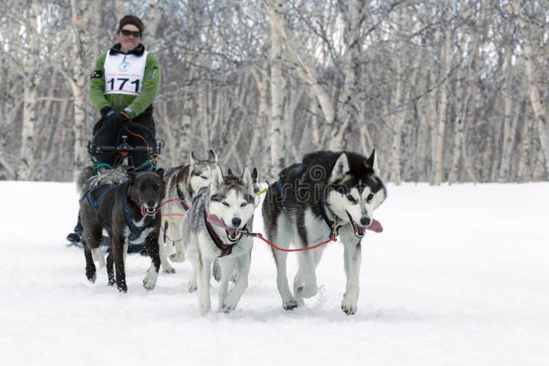 Schlitten-Hunderennen auf Kamchatka: alaskischer Schlittenhund des laufender Hundeschlittenteams lizenzfreie stockbilder