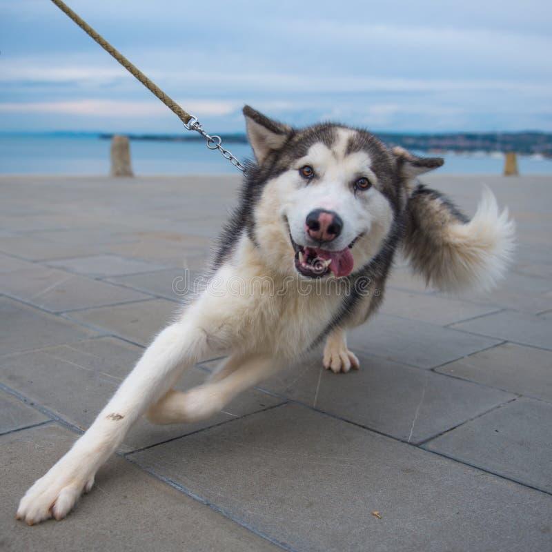 Schlittenhund auf Leine lizenzfreie stockfotos