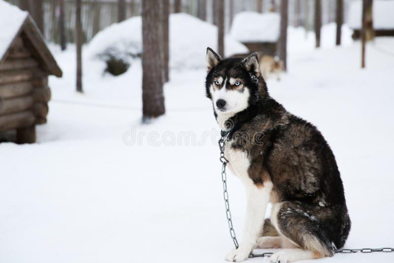 Schlittenhund im rovaniemi Finnland lizenzfreies stockbild