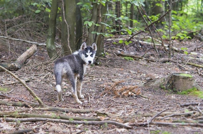 Schlittenhund im Wald stockfotografie