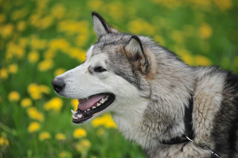Schlittenhund, Nahaufnahmeportrait eines Hundes stockfotografie