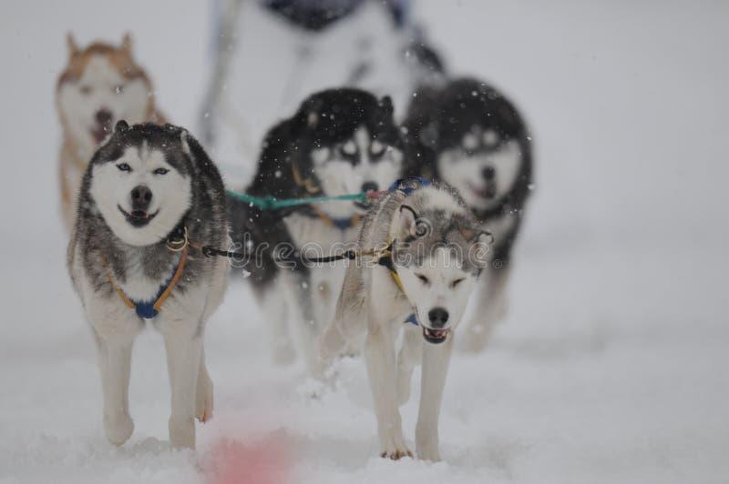 Schlittenhunde stockbilder