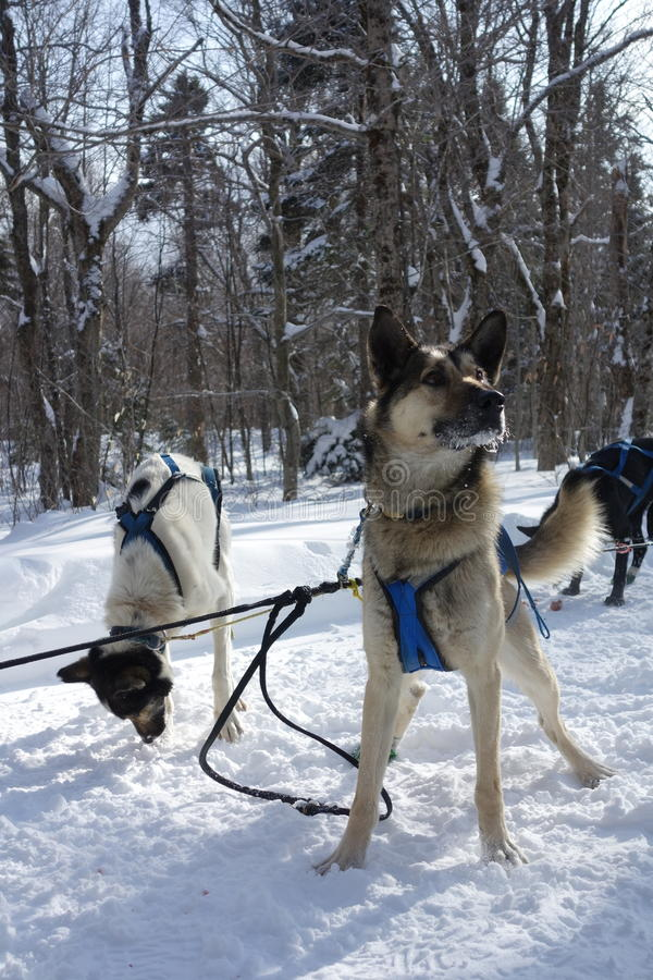 Schlittenhunde lizenzfreies stockfoto