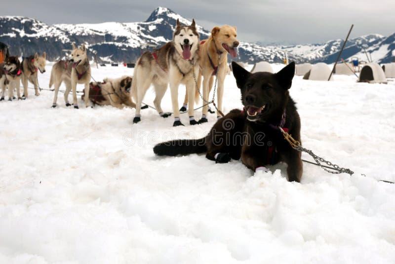 Schlittenhunde auf einer Ruhepause stockbilder