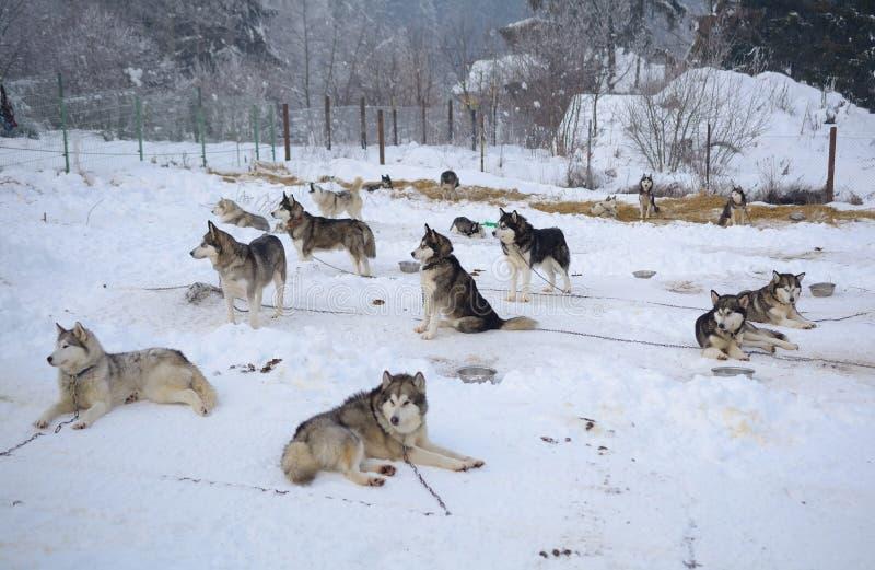 Schlittenhunde, die draußen stillstehen stockbilder