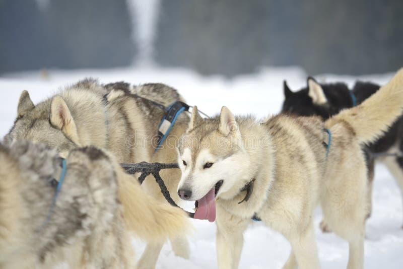 Schlittenhunde, die exitedly einen Schlitten durch Schnee laufen lassen und ziehen stockbilder