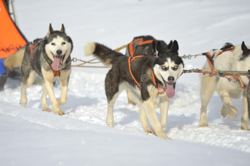 Schlittenhunde, die exitedly einen Schlitten durch Schnee laufen lassen und ziehen stockfotografie