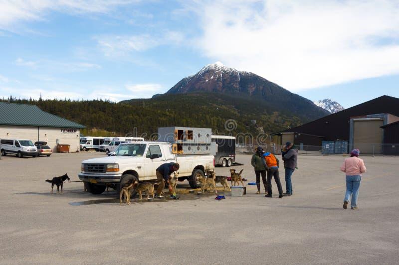 Schlittenhunde, die warten, zu einem Gletscher während der Sommertouristensaison transportiert zu werden lizenzfreie stockbilder