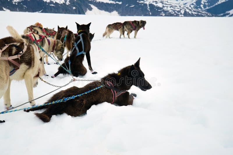Schlittenhunde nehmen eine Ruhepause während eines Trainingslaufs lizenzfreie stockfotos