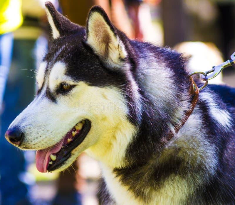 schlittenhunde Schlittenhundhunderassen stockfotografie