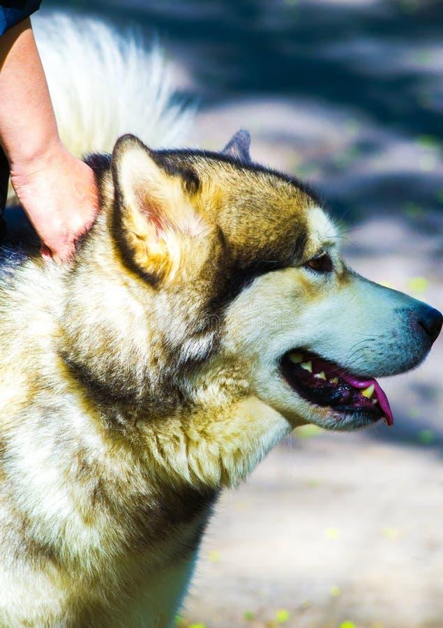 schlittenhunde Schlittenhundzuchthund lizenzfreies stockbild