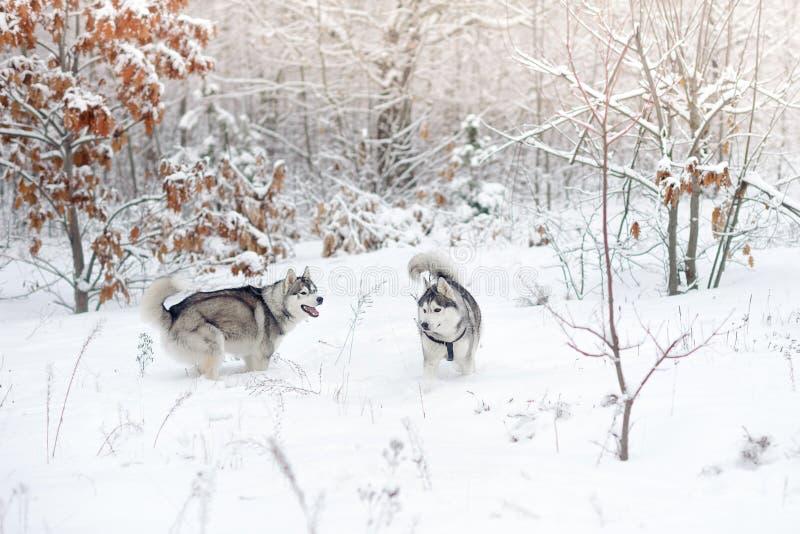 Schlittenhunde spielen im Schneeholz Schöner Winterwald stockfotografie