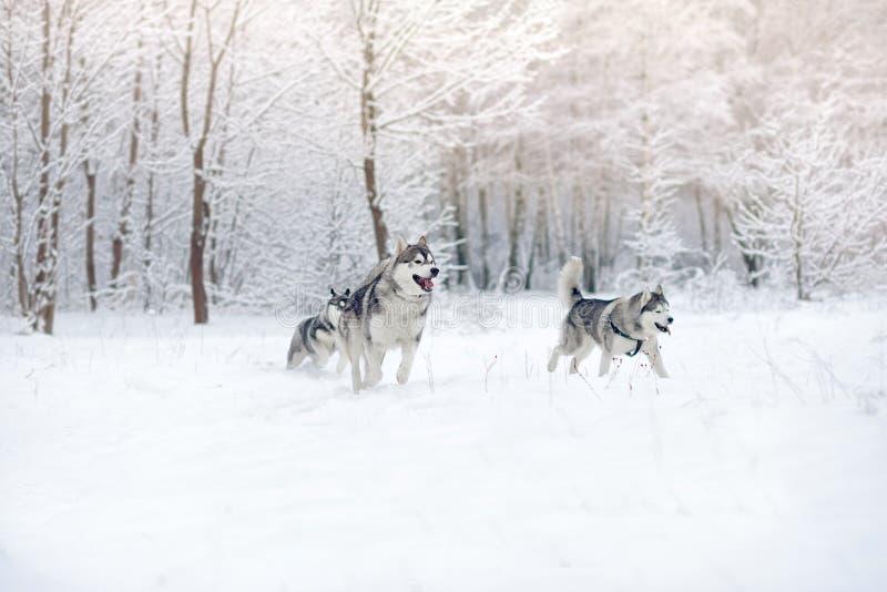 Schlittenhunde spielen im Schneeholz Schöner Winterwald lizenzfreie stockbilder
