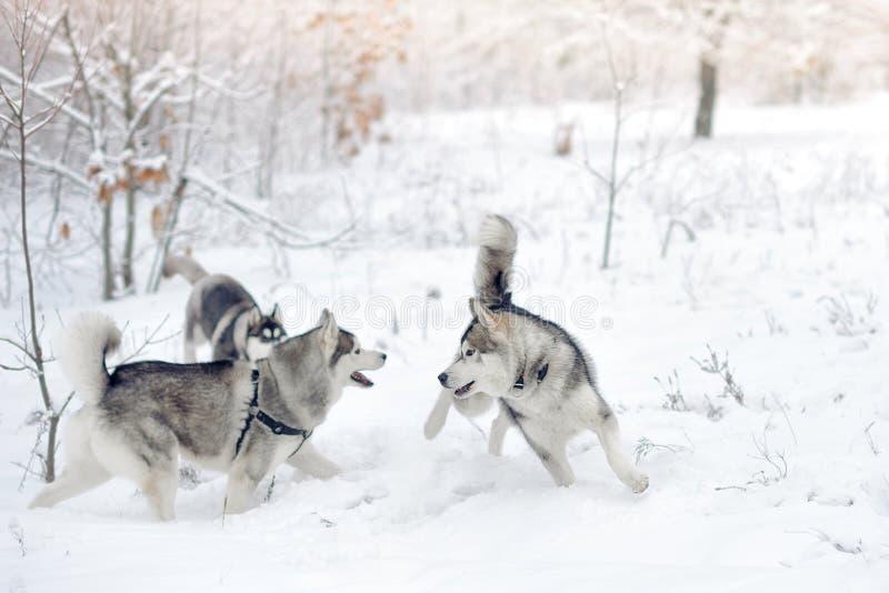 Schlittenhunde spielen im Schneeholz Schöner Winterwald stockbild