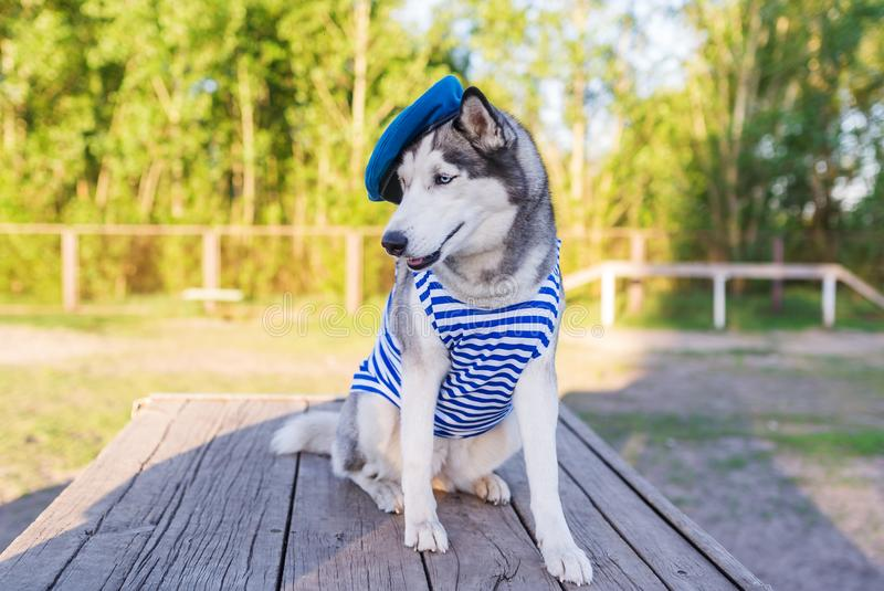 Schlittenhunde verfolgen draußen angekleidet in einer Marineuniform auf dem Hintergrund lizenzfreie stockbilder
