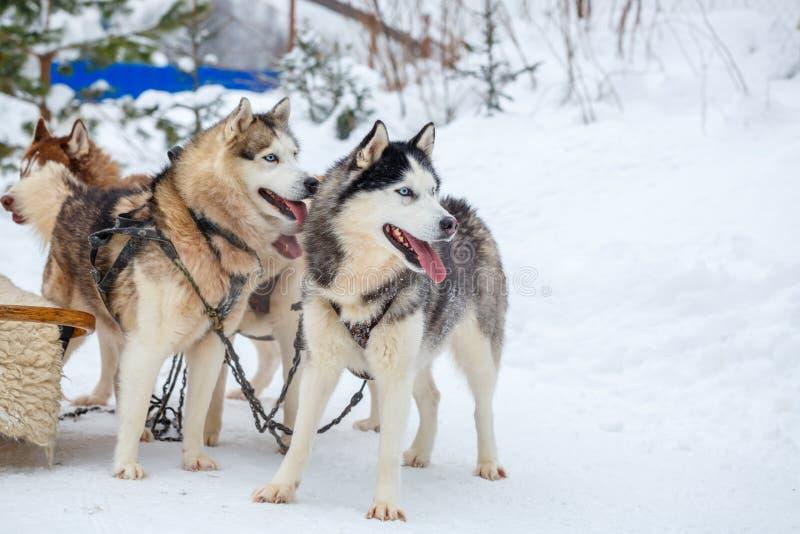 Schlittenhunde züchten Schlittenhund im Winter lizenzfreie stockfotografie