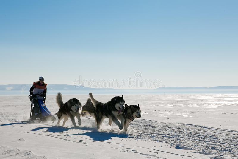 Schlittenhunderennenschlittenhund im Winter stockbilder