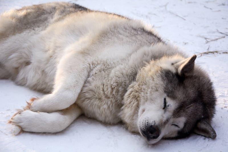 Schlittenhundeschlittenhund stockbilder