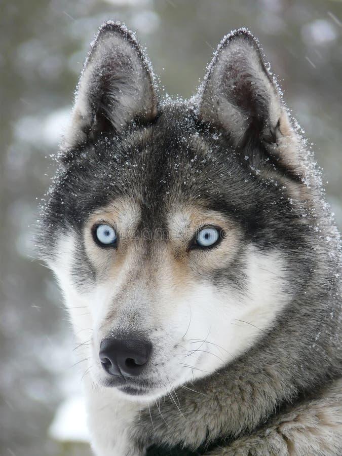 Schlittenhundhund der blauen Augen stockbild