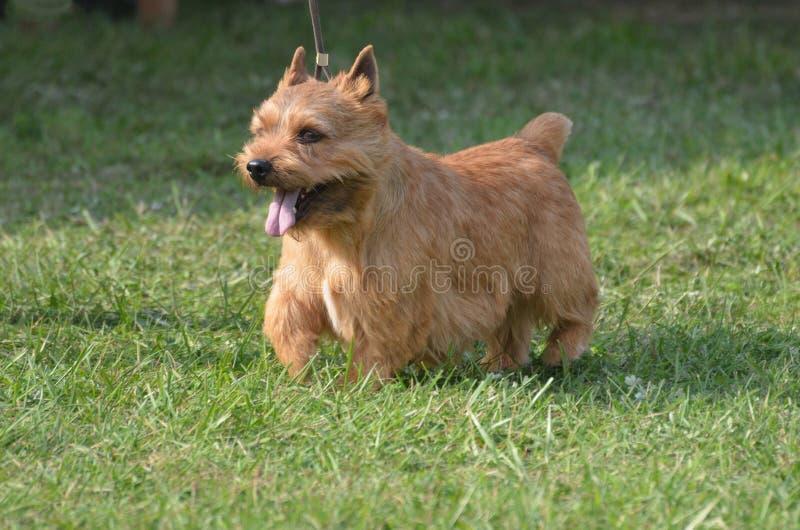 Schlucht von Hund Imaal Terrier stockfoto