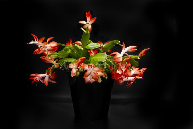 Schlumbergera rosado coralino floreciente del cactus de la Navidad, flor hermosa en el pote negro aislado en fondo negro Epiphyll imagen de archivo