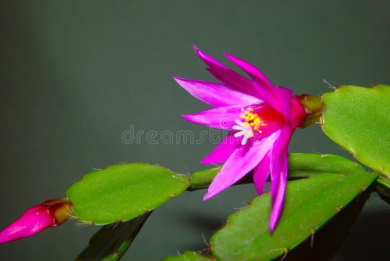 Schlumbergera sbocciante del cactus. fotografia stock libera da diritti