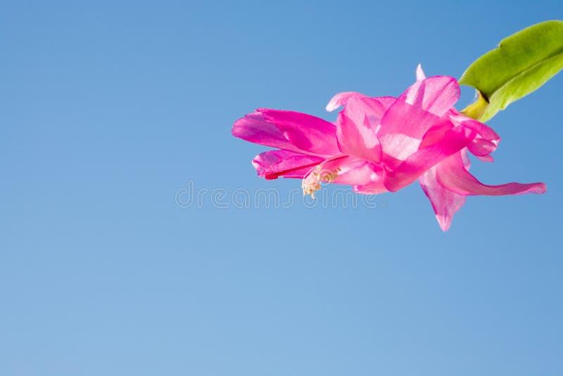 Download Schlumbergera truncata. stock image. Image of stem, outdoors - 5278523