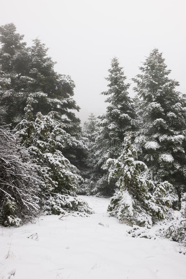 Schmaler Pfad im Kieferwald unter Schnee stockbild