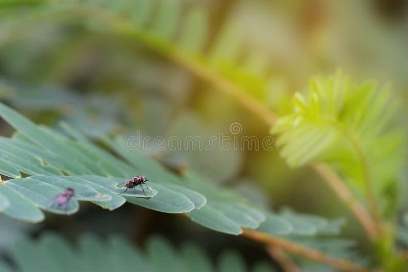 Schmeißfliege, Aasfliege, Portugiesische Galeeren oder Gruppenfliege auf Blattgrünbaum lizenzfreies stockfoto