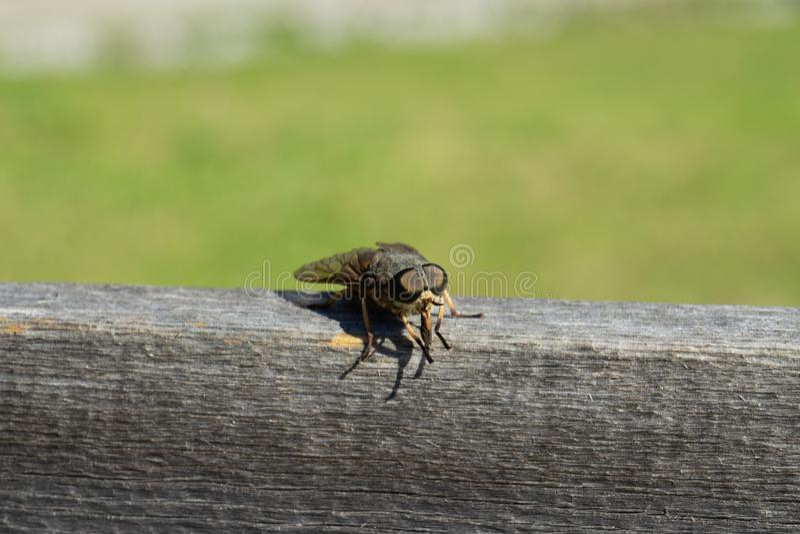 Schmeißfliege, Aasfliege, Schmeißfliegen, greenbottles oder Gruppenfliege lizenzfreie stockfotos