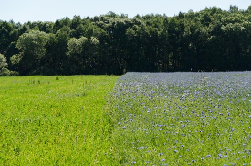 Schmeißfliegeblumenfeld und -wiese durch Wald lizenzfreie stockfotografie