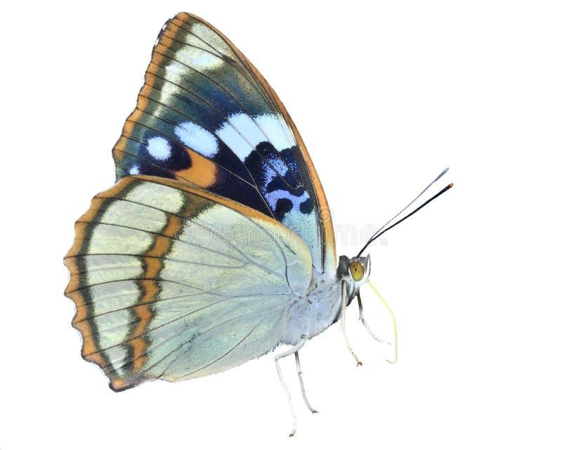 Schmetterling Apatura schrencki 32 lizenzfreies stockbild