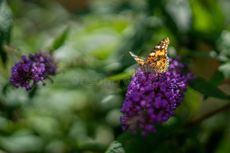 Schmetterling auf Anise Hyssop Flowers lizenzfreies stockfoto
