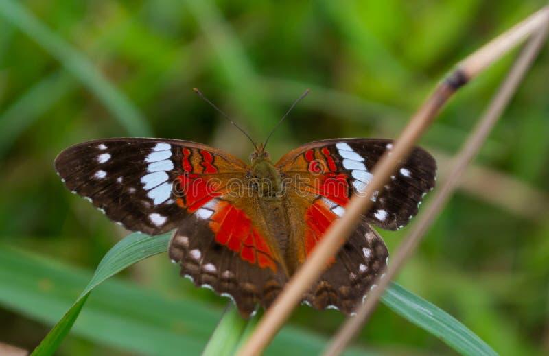 Schmetterling auf Blatt Brasilien natürlich lizenzfreies stockbild