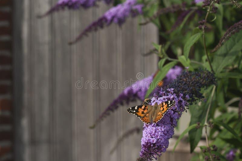 Schmetterling auf buddleja shurb lizenzfreie stockfotografie