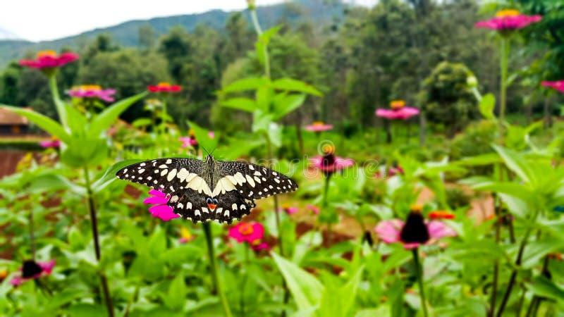 Schmetterling auf dem bunten der Blume mit grünem Blatthintergrund stockfotografie
