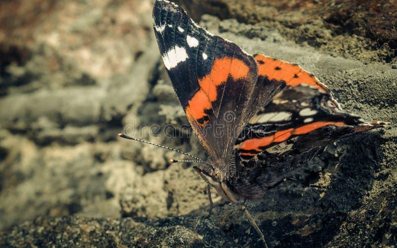 Schmetterling auf dem Felsen stockbilder