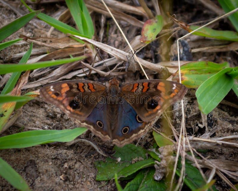 Schmetterling auf dem Grund-Brasilien natürlich lizenzfreies stockfoto