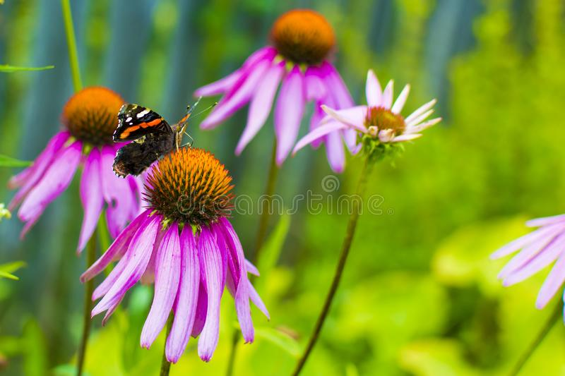 Schmetterling auf der Blume Konzept: Gartenpflanzen, Natur lizenzfreie stockfotos
