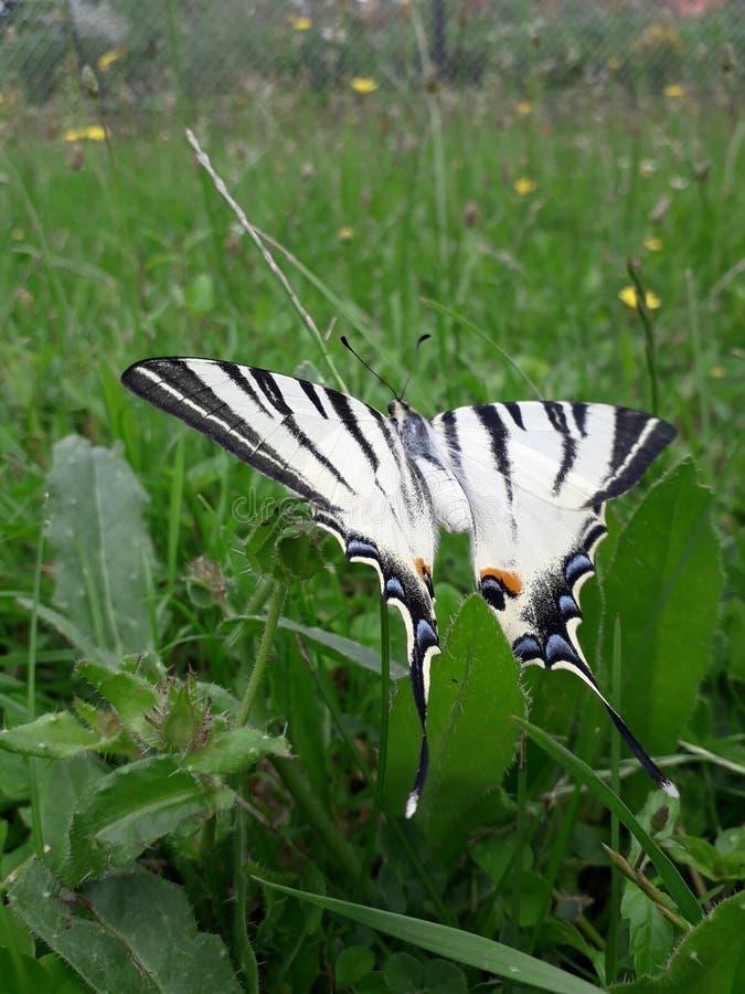Schmetterling auf einem grünen Sommergras stockbilder