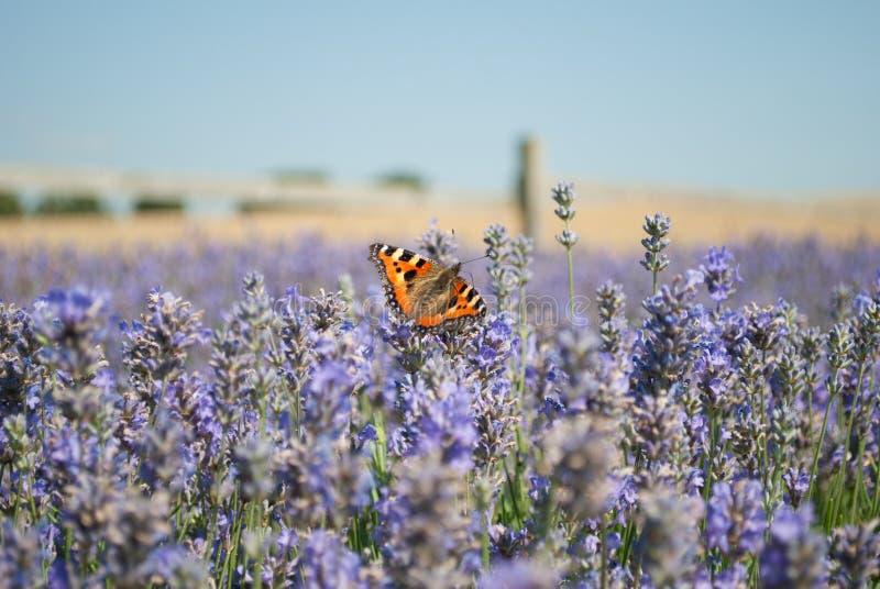 Schmetterling auf einem Lavendelgebiet stockfotografie