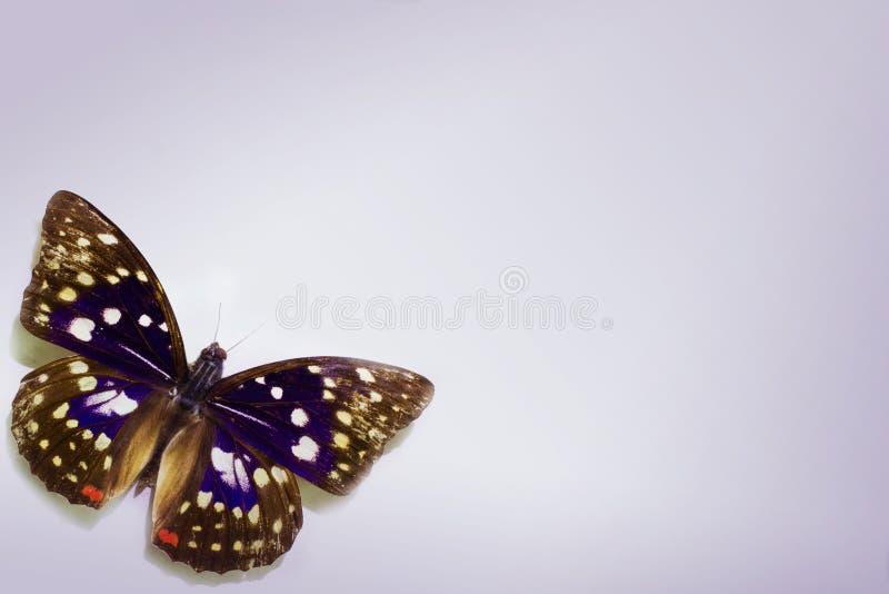 Schmetterling auf einem sauberen Hintergrund lizenzfreie stockbilder