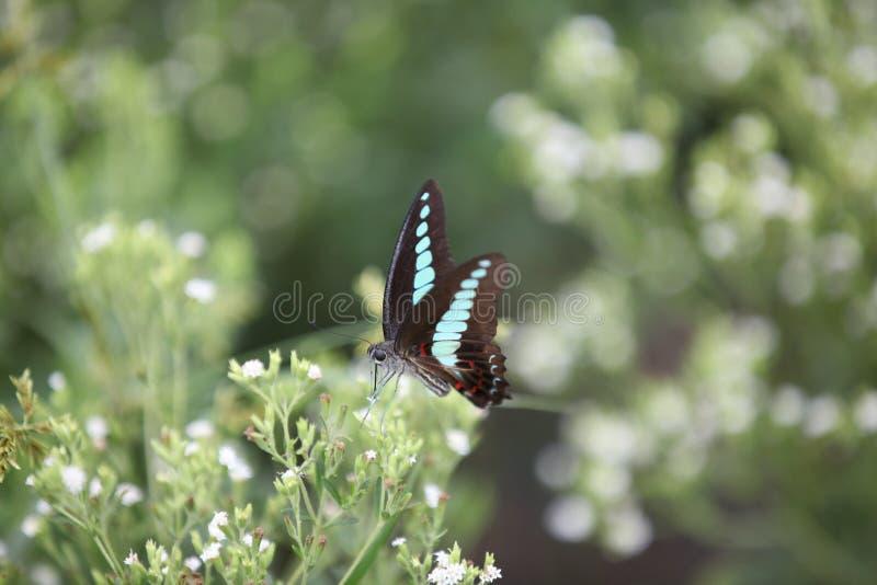 Schmetterling auf einem Steviagebiet stockfotografie
