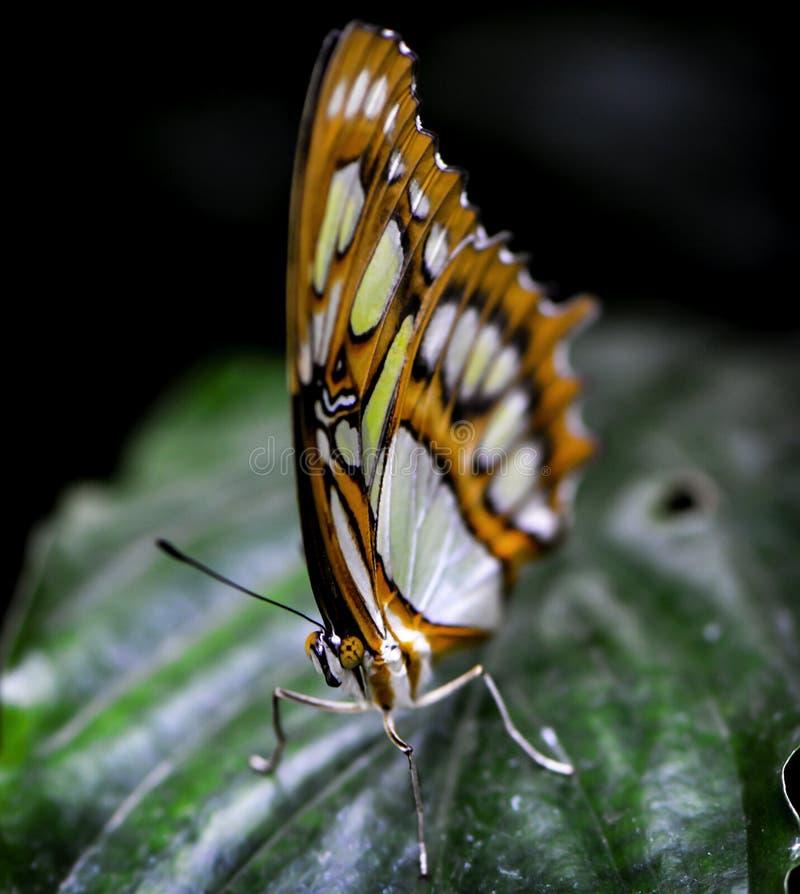 Schmetterling auf einem tropischen Blatt stockbild
