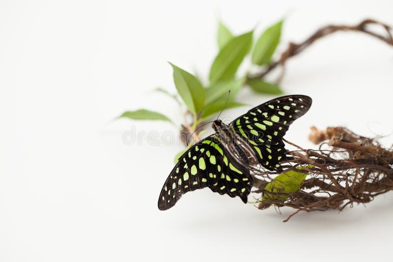 Schmetterling auf einer Niederlassung mit Grün verlässt auf Weiß Konzept von Energie lizenzfreie stockbilder
