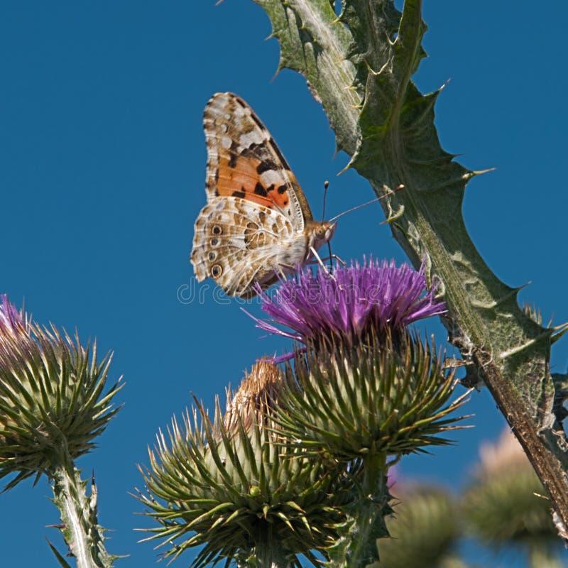 Schmetterling auf einer stacheligen purpurroten Blume auf einem sonnigen Morgen stockfotos